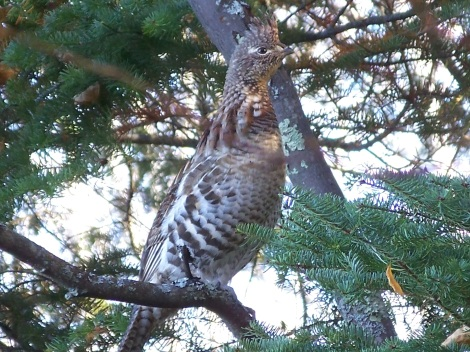 grouse in a tree