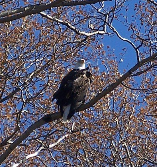 Mature eagle